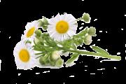 flower-camomile